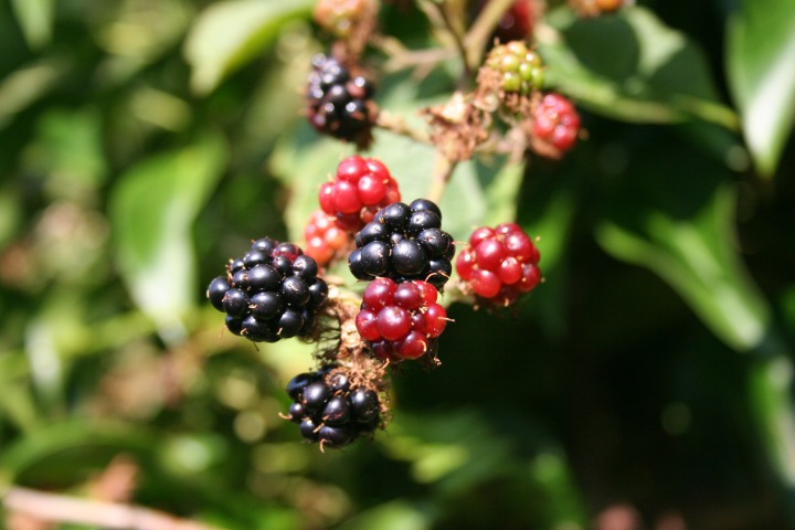 fruit picking blackberries